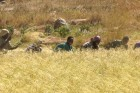 [dancing-grass-harvesting-teff-in-the-tigrean-highlands--Film-image]